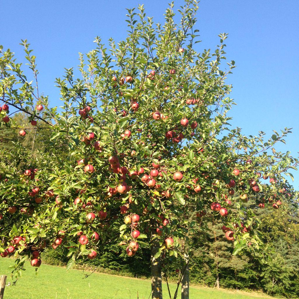 Rohstoff für den Apfelbrand