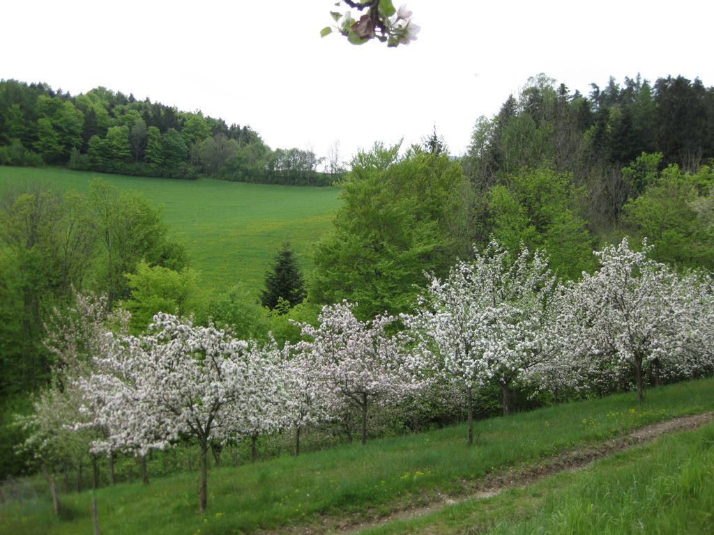 Baumblüte in Kraxenberg